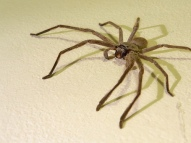 huntsman-spider-